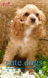 cute dogs36 アメリカンコッカースパニエル